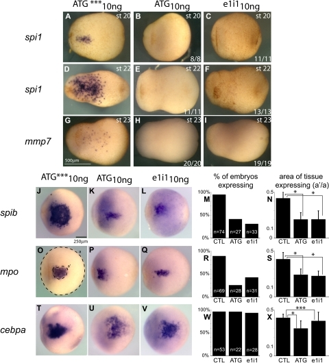 Effect of spib knockdown in primitive myeloid progenitors. (A-I) Primitive macrophages defined by the expression of spi1 and mmp7 are absent from spib-depleted embryos. (J-L,O-Q,T-V) WMISH analysis of aVBI in spib morphants; at the earliest point we can identify a pool of primitive myeloid progenitors by the coexpression of spib, mpo, and cebpa. (M,R,W) Quantification of the number of embryos that express spib, mpo, and cebpa and (N,S,X) size of primitive myeloid progenitor pool, by the area of tissue-expressing progenitor markers. Error bars represent the SD of the number of embryos analyzed (n). (O) Amount of tissue was calculated using area ratios of a and a′. Similar results were obtained in either ATG or e1i1 morphants and are in contrast with the uninjected and ATG mismatch control group (CTL). Student t test P values lower than .001 are marked as * and considered statistically significant; P values higher than .05 are not statistically significant and marked as ***.