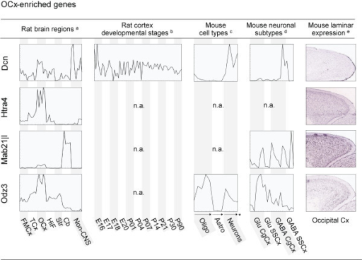 Spatial and time-dependent expression patterns of genes enriched in OCx. Expression profiles for 4 selected genes in rat brain regions, across different stages of the developing cortex, in astrocytes, oligodendrocytes and neurons and in different neuronal subtypes, as well as laminar expression patterns of the regional genes in their corresponding cortical regions. Profiles (a-d) were generated based on microarray data obtained from [20] (a), [10] (b), [28] (c) and [30] (d). Individual samples, including replicates, are placed along the x-axis. The y-axis indicates normalised signal intensities for each gene in each individual sample. Simple profiles are presented for illustration purposes; full profiles with detailed expression levels and sample information are available as additional material. In situ hybridisation images (e) were downloaded from the Allen Mouse Brain Atlas. FMCx, fronto-medial cortex; TCx, temporal cortex; OCx, occipital cortex.; HiF, Hippocampus; Str, Striatum; Cb, cerebellum; Oligo, oligodendrocytes; Astro, astrocytes; Glu, Glutamatergic neurons; GABA, GABAergic neurons; CgCx, cingulated cortex; SSCx, somatosensory cortex; n.a., not available; * arrows indicate increasingly mature cells