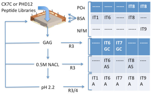 Summary of phage screening strategy. Libraries of targeted phage were added to either intact matrix (IT1), sonicated immobilized matrix (IT6, IT7 and IT9) or thin sections of matrix (IT8). The blocking strategies with phosphate buffer (P04), bovine serum albumin (BSA) or non fat milk (NFM) were deployed as indicated, and eluates from samples treated with chondroitin sulfate, high salt or high acid, which were processed over three to four rounds (R3, R3/4) of selection before sequence analyses, were used.