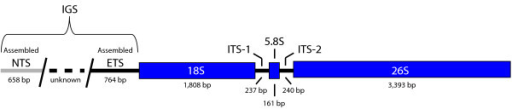 The rDNA cistron of Asclepias syriaca. Blue boxes represent genes. Thick black lines represent additional transcribed sequence. The gray and dashed lines represent non-transcribed and unassembled sequence respectively. Only partial sequences of the non-transcribed spacer (NTS) and external transcribed spacer (ETS) were able to be assembled due to repeats, so the length of the intergenic spacer (IGS) remains unknown.