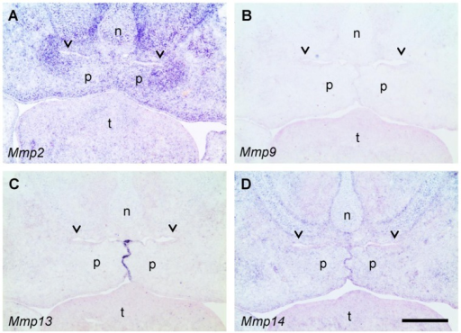 In situ hybridization for MMPs in the mid-palate region of the E14.5 wildtype mouse embryos.Frontal sections were hybridized with antisense RNA probes specific for Mmp2 (A), Mmp9 (B), Mmp13 (C), and Mmp14 (MT1-MMP) (D), respectively. Blue color indicates specific hybridization; sections have been counterstained with Nuclear Fast Red (pink). Note the strong signal for Mmp2 mRNA in the mesenchyme around the epithelial fold above the elevated palatal shelves (A), and a weaker signal for Mmp14 (D). In contrast, no signal for Mmp9 (B) and Mmp13 (C) is found in this location (arrowheads); Mmp13 mRNA is strongly expressed by midline epithelial cells, however. n, nasal cartilage; p, palatal shelf; t, tongue. Bar, 200 μm.