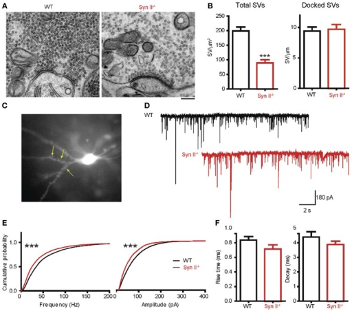 A decreased number of mossy fiber synaptic vesicles is associated with reduced mEPSC frequency and amplitude in mossy cells from pre-symptomatic Syn II−/− mice. (A) Transmission electron microscopy images of mossy fiber terminals in the DG hilus of brain slices from WT (black bars) and pre-symptomatic Syn II−/− (red bars) mice (scale bar 200 nm). (B) Mean (±s.e.m.) density of total SVs and number of docked SVs in presynaptic terminals of WT and Syn II−/− neurons; ***p < 0.001, two-tailed unpaired Student's t-test. (C) Representative Syn II−/− hilar mossy cell patch-clamped in an acute brain slice and filled with AlexaFluor568. Yellow arrows point toward thorny excrescences that are visible in the focal plane. (D) Representative mEPSC traces recorded in mossy cells from WT (black lines) and pre-symptomatic Syn II−/− (red lines) mice in the presence of GABA receptor and Na+ channel blockers. (E) Cumulative distributions of the amplitudes and frequencies of mEPSCs in WT and Syn II−/− neurons; ***p < 0.001, Kolmogorov–Smirnov test. (F) Mean (±s.e.m.) rise-time (10–90%) and mono-exponential τ of decay of mEPSCs from WT (black bars) and Syn II−/− (red bars) neurons.