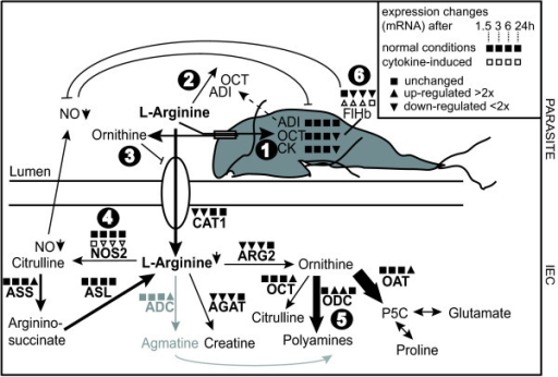 RNA expression changes of arginine-consuming enzymes upon Giardia-host cell interaction. Based on an interpretation of results from this and previous studies, the encircled numbers point out various ways by which Giardia interferes with the host immune response: (1) consumption of arginine via arginine-ornithine antiporter, (2) release of arginine-consuming ADI and OCT, (3) blocking of arginine-uptake into host cells by ornithine, (4) down-regulation of host iNOS, (5) up-regulation of host ODC, (6) up-regulation of parasite FlHb upon NO-stress. Human intestinal epithelial cells (Caco-2) were in vitro interacted with Giardia trophozoites and the expression changes of arginine-consuming enzymes were assessed by qPCR. Various enzymes involved in the arginine-metabolism of host cells and of Giardia are shown (adapted from Stadelmann et al 2012 [7]). Changes in expression after 1.5, 3, 6 and 24 h as compared to 0 h are indicated for interactions with the parasite isolate WB according to Figures 2 and 4 (square for no change, triangle pointing up for up-regulation, triangle pointing down for down-regulation; cut-off value 2). Expression of inos and flhb in host cells that were stimulated with cytokines (TNF-α (200 ng/mL), IL-1α (200 ng/mL), IFN-γ (500 ng/mL) to produce nitric oxide is also shown (non-filled triangles for up- and down-regulation, non-filled square for no change). ADC, arginine decarboxylase; ADI, arginine deiminase; AGAT, arginine-glycine amidinotransferase; ARG, arginase; ASL, argininosuccinate lyase; ASS, argininosuccinate synthetase; CAT, cationic amino acid transporter; CK, carbamate kinase; FlHb, flavohemoglobin; NO, nitric oxide; NOS, nitric oxide synthase; OAT, ornithine aminotransferase; OCT, ornithine carbamoyl transferase; ODC, ornithine decarboxylase; p6C, Δ1-pyrroline-5-carboxylate.