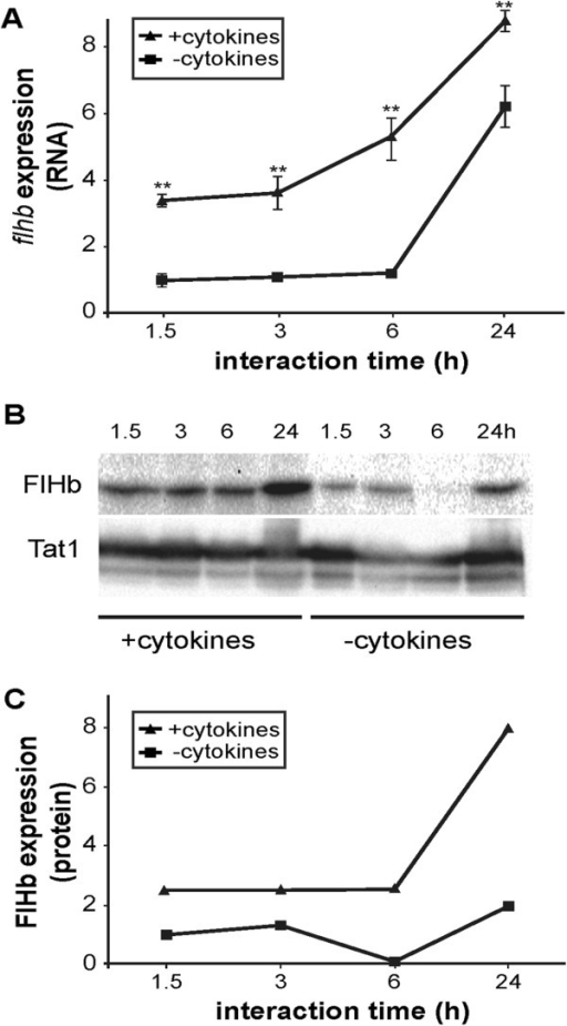 Giardia up-regulates flavohemoglobin upon nitric oxide (NO) stress. Human intestinal epithelial cells (HCT-8) were stimulated for NO production by addition of cytokines (TNF-α (200 ng/mL), IL-1α (200 ng/mL), IFN-γ (500 ng/mL)). Giardia trophozoites of the isolate WB were added to the NO-producing host cells and to control cells after 40 h. Samples were measured for expression of the NO-detoxifying protein flavohemoglobin (FlHb) at indicated time points. A, Upon interaction with NO-producing cells FlHb was induced in trophozoites on the RNA level compared to the control gene GL50803_17364 as assessed by qPCR in technical quadruplicates. This highly significant difference is indicated by asterisks. B, Western blot detecting the expression of FlHb and the control protein Tat1 in Giardia upon interaction with HCT-8 cells with and without NO-induction. C, Quantification of the Western blot bands (B) by image J software clearly shows the induction of FlHb protein in Giardia trophozoites upon interaction with NO-induced host cells. The results are representative for similar results obtained by three independent experiments.