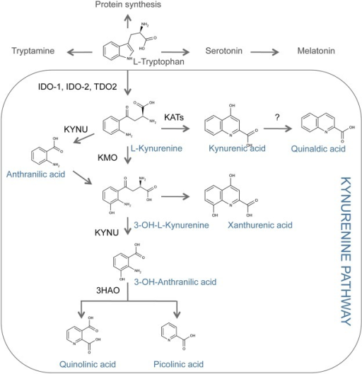 Overview of the tryptophan metabolism and the kynurenine pathway.IDO-1: Indoleamine 2,3-dioxygenase 1. IDO-2: Indoleamine 2,3-dioxygnease 2. TDO2: Tryptophan 2,3-dioxygenase. KATs: Kynurenine amino transferases. KMO: Kynurenine-3-monooxygenase. KYNU: Kynureninase. 3HAO: 3-hydroxyanthranilate oxygenase