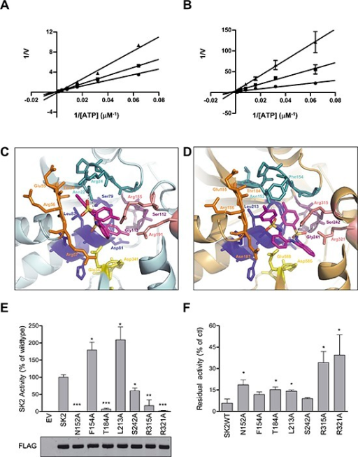 MP-A08 is a novel ATP-competitive inhibitor for SK1 and SK2Lineweaver–Burke plots showing inhibition kinetics MP-A08 against recombinant SK1 (A) and SK2 (B) with varying ATP concentration. Data show MP-A08 employed at 50 μM (▲) or 25 μM (■), or with vehicle control (●), and are mean ± SD from four independent experiments. (C) The ATP-binding pocket of the recently solved SK1 crystal structure (3VZD) with MP-A08 docked. Each of the regions highly conserved in all SKs (see Supplementary Figure 1) that comprise the ATP-binding pocket are colored in the same scheme as in Figure 1A. SK1Arg185 and SK1Arg191 are colored in light pink. The atoms in MP-A08 are colored according to chemical elements; oxygen in red, nitrogen in blue, and sulphur in yellow. (D) The predicted SK2 model is represented with MP-A08 docked. Each of the conserved motifs that comprise the ATP-binding pocket are colored as in C. SK2Arg315 and SK2Arg321 are colored in light pink. (E) Assessment of residual SK2 activity in the ATP-binding pocket mutants of residues predicted to be important for SK2 binding to MP-A08. SK2 activities were determined after overexpression in HEK293T cells, and represented as % activity compared to wildtype SK2 (WT). Empty vector (EV) transfected cells show negligible contribution from endogenous SK to the activities displayed. The lower panel shows similar expression levels of all SK2 variants, but all activities were adjusted for slight variations in expression. All data shown are mean ± SD (n = 4). (F) Effect of MP-A08 (250 μM) on the activity of SK2 variants harboring mutations in the ATP-binding site. Values are represented as % activity compared to vehicle control, mean ± SD (n = 4). Significance from SK2WT was determined by student t-test (*p < 0.05, **p < 0.01 and ***p < 0.001)