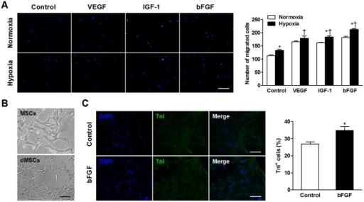 Basic fibroblast growth factor (bFGF) promotes mesenchymal stem cells (MSCs) migration and differentiation into a cardiomyocyte phenotype in vitro. (A) MSCs were cultured under normoxic and hypoxic conditions with 50 ng/mL bFGF, 20 ng/mL vascular endothelial growth factor (VEGF), 2 ng/mL insulin-like growth factor (IGF-1), or control medium. Under hypoxic conditions, the number of migrated cells increased when incubated with VEGF, IGF-1, and bFGF. (B) Myotube-like structures were observed in differentiated MSCs (dMSCs). (C) Cotreatment with bFGF induced MSCs differentiation into a cardiomyocyte phenotype, as indicated by increased cardiac troponin I positive (TnI+) cells. Nuclei were stained with 4,6-diamidino-2-phenylindole (DAPI). Scale bars: 200μm (A); 100μm (B and C). Histograms represent mean±SEM. A: *p<0.05 vs normoxia; †p<0.05 vs control. All with 2-way ANOVA. C: *p<0.05 vs control, unpaired Student t test.