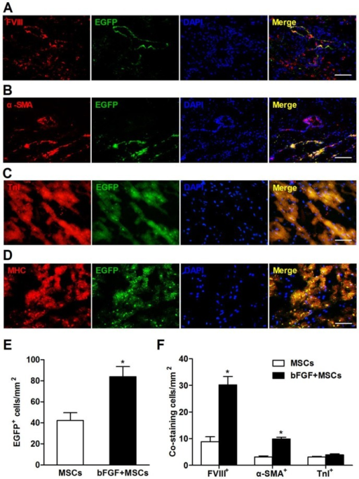 Retrograde infusion of basic fibroblast growth factor (bFGF) enhances mesenchymal stem cells (MSCs) engraftment and differentiation. Representative immunofluorescence images demonstrated coexpression of (A) factor VIII-related antigen (FVIII), (B) α-smooth muscle actin (α-SMA), (C) cardiac troponin I (TnI), and (D) cardiac myosin heavy chain (MHC) in enhanced green fluorescence protein (EGFP) positive cells in the infarct region. Nuclei were stained with 4,6-diamidino-2-phenylindole (DAPI). (E) The number of EGFP+ cells was 1-fold higher in the bFGF+MSCs group than in the MSCs group. (F) The number of labeled cells costained with FVIII and α-SMA was significantly greater in the animals treated with bFGF+MSCs (n=3) compared with MSCs (n=3), indicating enhanced neovascularization by combined therapy. The number of EGFP+ cells coexpressing TnI was not statistically different between the two groups. Scale bars: 100μm (A, C and D); 200μm (B). Histograms represent mean±SEM. *p<0.05 vs MSCs, unpaired Student t test.
