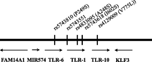 TLR-6/1/10 region on chromosome 4. Arrangement of TLR-6/1/10 and adjacent genes on chromosome 4 and the localization of investigated SNPs