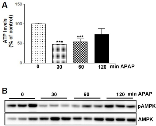 Time-dependent changes in adenosine triphosphate (ATP) and adenosine monophosphate-activated protein kinase (AMPK) phosphorylation by acetaminophen (APAP). Eight-week-old C57BL/6N male mice were intraperitoneally administered 400 mg/kg APAP. Liver tissue samples were collected at indicated time points following APAP treatment. (A) ATP concentration was measured in the liver samples from each group. (B) AMPK activation was estimated by immunoblot analysis by using antibodies (Abs) against the phosphorylated (pT172) or total AMPK; n = 5, *P < 0.05, ***P < 0.001 as compared to time zero.