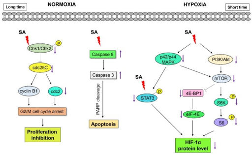 Proposed signaling pathways underlying the effects of SA on the suppression of HIF-1α and the induction of cell death in human colorectal cancer cells.