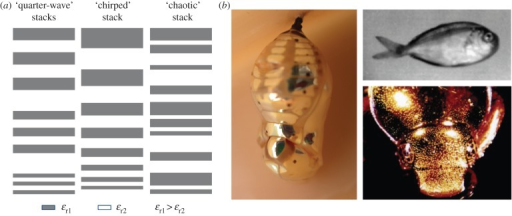 (a) Three ways found in Nature for achieving a broadband wavelength-independent reflector in a dielectric superlattice including three quarter-wave stacks, a 'chirped' stack and a 'chaotic' stack, inspired by Parker [5]. (b) Organisms with broadband optical reflectivity. (Left) Gold chrysalis of the butterfly Euploea core with 'chirped' superlattice [13]. (Top right) Ultraviolet photograph of a silvery fish with 'chaotic' superlattice [5]. (Bottom right) Gold beetle Anoplognathus parvulus with 'chirped' superlattice [5]. (Online version in colour.)