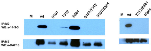 Effect of phosphorylation site mutation on the interaction of Ac-FTT-2 with Ac-DAF-16. HEK293 cells were co-transfected with 2 μg of pcDNA3.1V5/Ac-ftt-2 and 2 μg of wild-type or mutant pCMV4FLAG/Ac-daf-16 plasmids as above. Mock cells received 4 μg of empty pcDNA3.1/V5-His vector. Cell lysates were prepared 48 h after transfection, and then incubated with anti-FLAG (M2) agarose resin. Immunoprecipations were separated by 4–20% gradient SDS-PAGE and transferred to PVDF membrane. Top panels, Western blot with anti-human 14-3-3β antibody; Bottom panels, the blot was stripped and re-probed with Ac-DAF-16 antiserum. See text for description of the Ac-DAF-16 mutants.