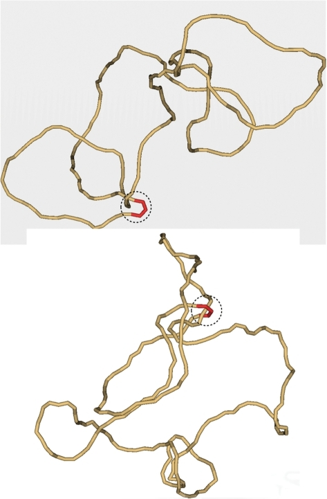 Typical simulated conformation of knotted (top) and unknotted (bottom) 7-kb DNA molecules. Each of the shown conformations has a segment located inside the hairpin-like G segment (red). For both conformations the potential T segment and G segment, which could interact with the enzyme, are circled by the dashed line. It seems clear from the figure that the mutual path of the segments inside the circle cannot specify topology of the entire chains. Indeed, the topology of both conformations can be easily changed outside the dashed circles. The conformations were selected from the equilibrium ensemble generated by a Metropolis Monte Carlo procedure (5).