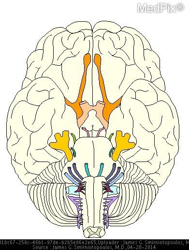 All of the cranial nerves enter/exit from the base of the brain or the ventral side - EXCEPT, the fourth or trochlear nerve, which exits the dorsal brainstem at the junction of the midbrain and pons.
