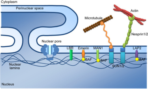 The three-layers of NE proteins. The nuclear pore compl ...