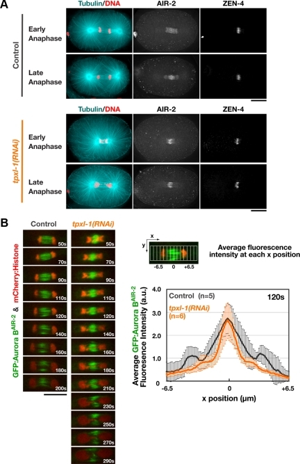 TPXL-1 depletion does not significantly alter the localization of midzone-localized signaling complexes. (A) Fixed control and tpxl-1(RNAi) embryos were stained to visualize DNA, α-tubulin, ZEN-4, and AIR-2. 3D widefield data stacks were collected and computationally deconvolved. Maximum intensity projections of the central region of representative early (top) and late (bottom) anaphase embryos are shown. (B) Single-plane confocal images of the spindle in embryos expressing GFP:AuroraBAIR-2 and mCherry:Histone H2B. Times are relative to anaphase onset. Graph shows the average GFP:AuroraBAIR-2 fluorescence intensity as a function of position along the spindle axis (see diagram) in control and tpxl-1(RNAi) embryos 120 s after anaphase onset, which corresponds to the time of furrow involution in controls. Values are plotted over the length of the midzone, with the zero position corresponding to the fluorescence intensity maximum. Error bars are the SD. Bars, 10 μm.