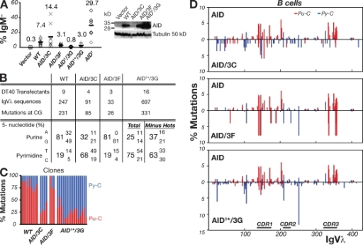 Modified AIDs give altered IgVλ hypermutation spectra in B cells. (A) Hypermutation of IgVλ was assayed by monitoring surface IgM-loss in AID−/− ψV−/− sIgM+ DT40 cells that had been stably transfected with constructs coexpressing the indicated AID mutants together with GFP. For each construct, the percentage of surface IgM-loss variants in 8–12 independent clonal transfectants were determined 3 wk after subculturing. On the right, Western blots representative of multiple clones show AID abundance in the DT40 cell extracts, with tubulin as loading control. (B) 5′-flanking nucleotide preferences of the IgVλ C mutations produced by the variant AID deaminases in the DT40 clonal transfectants. The compilations are based on mutations detected in unsorted DT40 cells analyzed 8 wk after transfection, except for AID/3C, where sequences from both unsorted and sorted sIgM− populations contributed to the mutation database. In the case of AID1*/3G, the nucleotide preferences are given based on an analysis of all the mutations in the dataset, as well as from an analysis in which the four major hotspots were removed from the calculations. (C) Percentage of mutated C residues flanked by 5′-purine (red) or 5′-pyrimidine (blue) in IgVλ sequences analyzed from individual expanded DT40 clonal transfectants represented by each bar. (D) Distribution of IgVλ mutations in the DT40 transfectants, in each comparing the spectrum achieved with a modified AID (below the line) to that achieved with wild-type AID (above the line). Mutations (which were >95% at C:G pairs) were computed as being caused by C deamination with those Cs flanked by a 5′-purine (Pu-C) indicated in red and those by a 5′-pyrimidine (Py-C) in blue. Further details on the mutations obtained with these deaminases, as well as with AID1 are shown in Fig. S2 and Fig. S3.