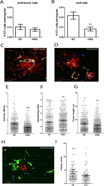 CD8+ T cell dynamics in the liver following L. donovani infection.A) The entrance and B) exit rate of CFSE labelled memory-like OT-I T cells 5–14 h post-transfer into d14–21 infected hCD2.GFP mice calculated by dividing the number of OT-I cells entering or leaving each granuloma for each imaging session and dividing by the time of each imaging session to give a rate/min (n = 60 imaging sessions for WT and 71 for PINK infected mice, ** < 0.001). C) Snapshot of the extended focus view of a time-lapse imaging sequence showing the cell tracks of CFSE labelled memory-like OT-I T cells transferred into d14-21 WT L. donovani or D) PINK-infected mice. Comparison of the E) cell velocities, F) meandering index and G) track length of memory-like OT-I T cells transferred into d14-21 WT L. donovani- or PINK-infected mice (n = 266 for WT and 311 for PINK, *** P<0.0001, ** P<0.001). H) Snapshot of the extended focus view of a time-lapse imaging sequence showing the cell tracks of Hoechst labelled memory-like OT-I T cells (blue tracks) and CFSE labelled memory-like F5 cells (green) transferred into d14-21 PINK infected mice. I) Comparison of the cell velocities of memory-like F5 and OT-I T cells transferred into d14-21 PINK-infected mice (n = 105 for F5 and 87 for OT-I T cells). Data represents mean ± SEM, ** P<0.001.