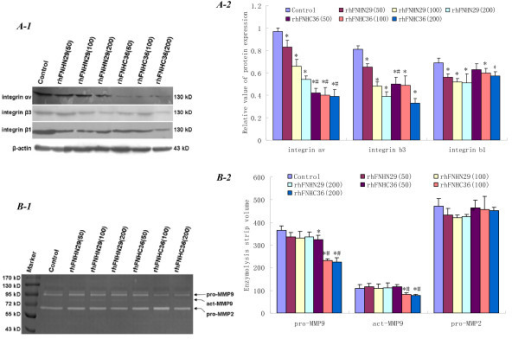 Reduction of integrin expression and MMP activity by rhFNHN29 and rhFNHC36. (A-1), Representative immunoblots for integrin αv, β3 and β1 proteins. (A-2), The group data represents the mean ± SD (n = 3). The densitometry data were normalized to β-actin. * denotes a statistically significant difference compared to the control (P < 0.05) and # denotes a statistically significant difference compared to rhFNHN29 at the same concentration (P < 0.05) by One-Way ANOVA. (B-1), Analysis of MMP activity. Supernatants from MHCC97H cells cultured with Mn2+ in the absence or presence of different concentrations of rhFNHN29 and rhFNHC36 were performed by Gelatin Zymography. (B-2), The group data of enzymolysis strip volume represent mean ± SD (n = 3). * denotes a statistically significant difference compared to the control (P < 0.05) and # denotes a statistically significant difference compared to rhFNHN29 at the same concentration (P < 0.05) by One-Way ANOVA.
