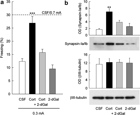 Synapsin-Ia/Ib mediates the enhancement of contextual fear conditioning induced by glucocorticoids. (a) Percentage of conditioned freezing (mean±s.e.m.) displayed by mice re-exposed for 4 min to the conditioning context 24 h after conditioning with either high (0.7 mA footshock; n=12) or low shock intensity (0.3 mA footshock; n=11) and receiving a post-training intra-hippocampal infusion of either vehicle (n=11), 2-dGal (n=11; 400 m per side), corticosterone (n=12; 10 ng per side), or corticosterone+2-dGal (n=12). (b) Western blot analysis and quantification of synapsin-Ia/Ib hippocampal expression in the presence or absence of the inhibitor of fucosylation 2-dGal (400 m per side). βIII-tubulin was used as a loading control; 2 h post-hippocampal infusion of 2-dGal, proteins were extracted, analyzed by western blot, and quantified by densitometry (optical density OD, mean±s.e.m., n=4). **P<0.005, ***P<0.0001, in comparison with all the other groups, Newman–Keuls and Scheffe post hoc test after ANOVA.