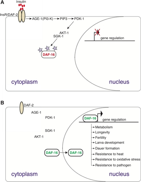 Figure 6:Intracellular Protein Glycosylation Modulates