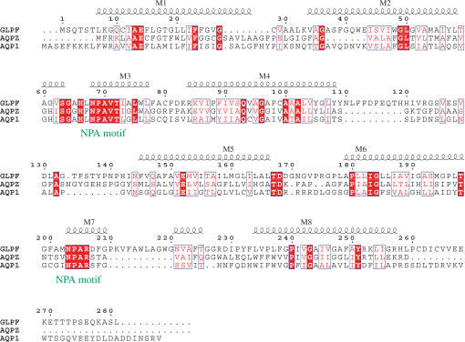 Sequence Alignment of Aquaporins with Known StructureAlignment of GlpF, AqpZ, and AQP1 is numbered according to GlpF. Helices are shown and labeled M1–M8. Residue positions of similar chemical nature are shown in blue boxes; identical residues are shown in red.