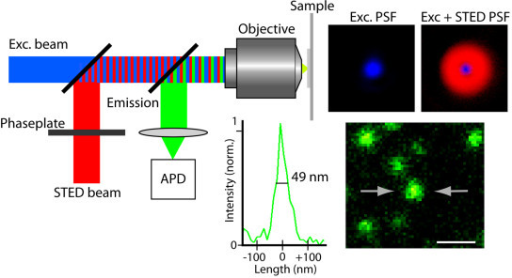 Principle of STED microscopy. The red depletion beam is phase-modulated to form a focal doughnut shown in the top right panel. Superimposition of this STED focus onto the diffraction limited excitation focus, shown in the adjacent panel, sharpens the effective fluorescence spot, which allows nanoscale imaging. The lower panels show well discernable fluorescent beads (diameter 40 nm) and a line profile across one of them with FWHM-value below 50 nm. Scale bar: 200 nm