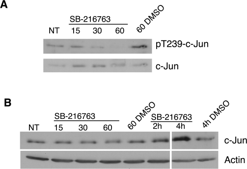 Effect of GSK-3 inhibition on c-Jun phosphorylation and stability.T98G cells were rendered quiescent by serum starvation for 72 hours. Cells were then left untreated (NT), or treated with SB-216763 or vehicle control (DMSO) for the times indicated. Cell extracts were immunoblotted in parallel with anti-phospho threonine 239-c-Jun, pan-c-Jun and β-actin antibodies. Data shown are representative of three separate experiments. The left and right panels of the immunoblot in (B) were taken from the same autoradiography film, and therefore are identical exposure times.