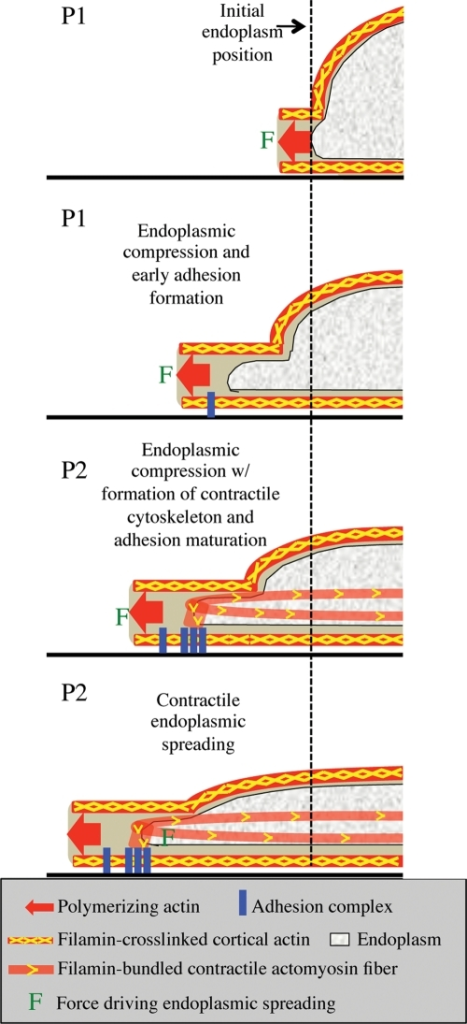 Schematic model of endoplasmic spreading. Initially the cell begins to spread via actin polymerization against the cell membrane. Cortical actin is cross-linked by Fln along the membrane. As the cell continues to spread, actin polymerization forces at the edge are transmitted back through the Fln-cross-linked cortex to the cell center, causing flattening of the endoplasm. At the same time, early adhesions begin to form. At the onset of contraction, cells exert contractile forces through mature focal adhesions, Fln-bundled actin stress fibers, and Fln-cross-linked actin meshworks (not shown for simplicity), allowing the endoplasm to spread in the direction of the edge despite being already flattened. Fln-depleted MEFs do not exhibit endoplasmic compression because they lack cortical cross-linking while they also do not experience contractile endoplasmic spreading due to unstable focal adhesions and a lack of strong actin stress fibers and cross-linked actin capable of stably supporting large forces exerted on the substrate.