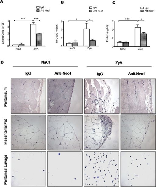 Functional inhibition of neogenin dampens acute inflammatory peritonitis.WT animals were injected i.p. with NaCl or 1 mg of zymosan A (ZyA) and subsequently i.v. with either IgG control or anti-Neogenin (Anti-Neo1) antibody (1 µg) and peritoneal lavage obtained after 8 hours A) Cell count in peritoneal lavage of Neo1−/− and WT animals B) Myeloperoxidase (MPO) activity in peritoneal lavage C) Protein content in peritoneal lavage of Neo1−/− and WT animals D) Representative histological analysis of the peritoneum, the mesenterial fat and cytospin samples of the peritoneal lavage in Neo1−/− and WT animals 8 hours following intraperitoneal NaCl or ZyA injection. Sections prepared with hematoxylin-eosin staining (Magnification ×400, insert ×1000; Data are Mean ± SEM, n = 6 per group, *P<0.05, **P<0.01, ***P<0.001 as indicated).