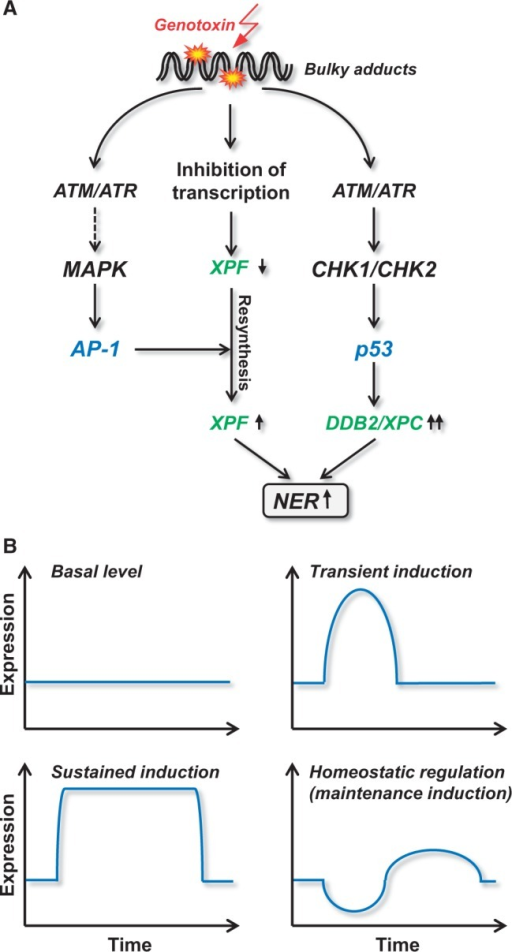 Genotoxin-triggered transcriptional repair gene regulation. (A) Pathways of upregulation of DDB2, XPC and XPF. (B) Different modes of repair gene regulation; for explanation, see text.