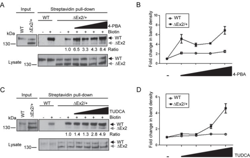 Chemical chaperones partially restore Bmpr2ΔEx2 mutant product expression at the cell surface.A, Cell surface expression of Bmpr2ΔEx2 in Bmpr2ΔEx2/+ ciPECs treated with 4-PBA. Bmpr2ΔEx2/+ ciPECs were treated for 48 hours with 100µM, 250µM, 500µM or 1mM of 4-PBA. Monolayers were then labeled with membrane impermeable biotin and biotinylated cell surface proteins pulled-down with streptavidin agarose beads. Western Blot was performed with Clone 18 anti-BMPR2 antibody. The 150 kDa wild type Bmpr2 product was detected in the streptavidin pull-down in control and Bmpr2ΔEx2/+ ciPECs, but the 130 kDa Bmpr2ΔEx2 mutant product was not detected. After treating with the chemical chaperone 4-PBA, the 130kDa Bmpr2ΔEx2 mutant product was detected and there was increased expression of the wild type Bmpr2 product in the streptavidin pull-down. Numbers shown below the upper panel indicate the ratio of the 130 kDa Bmpr2ΔEx2 band before and after treatment with 4-PBA. Lower panel, expression of wild type Bmpr2 and Bmpr2ΔEx2 in ciPEC cell lysates with 4-PBA treatment. B, Quantification of wild type Bmpr2 and Bmpr2ΔEx2 band densities after 4-PBA treatment relative to untreated controls from three independent experiments, standard error is indicated. C, Cell surface expression of Bmpr2ΔEx2 in Bmpr2ΔEx2/+ ciPECs treated with TUDCA. Wild type and Bmpr2ΔEx2/+ ciPECs were treated for 5 hours with 50µM 100µM, 250µM or 500µM of TUDCA. Streptavidin pull-down shows that the 130kDa Bmpr2ΔEx2 mutant product was partially restored at the cell surface and there was a slight increase in wild type Bmpr2 with TUDCA treatment (1.4 fold increase with 500µM TUDCA versus untreated cells). Numbers shown below the upper panel indicate the ratio of the 130 kDa Bmpr2ΔEx2 band before and after treatment with TUDCA Lower panel, expression of wild type Bmpr2 and Bmpr2ΔEx2 in ciPEC cell lysates with TUDCA treatment. D, Quantification of wild type Bmpr2 and Bmpr2ΔEx2 band densities after TUDCA treatment relative to untreated controls from three independent experiments.
