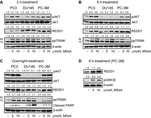 Protein expression changes in cytosolic fractions of PC3, DU145, and PC-3M cells following MSeA treatments for 2 h, 6 h and overnight in hypoxia. The three prostate cancer cell types were stimulated with 10% FBS following an overnight starvation (0.1% FBS) in the presence and absence of MSeA in hypoxia (1% O2). (A) Relatively increased levels of pAKT, REDD1 and pp70S6K (lower band) were observed after 2 h of MSeA treatment in invasive prostate cancer cells in hypoxia compared to respective untreated controls. (B) MSeA treatment after 6 h maintains elevated levels of pAKT in PC3 and PC-3M cells. REDD1 and pp70S6K levels induced by MSeA continue to increase in the three cell types at this time point. (C) An overnight exposure of invasive prostate cancer cells to MSeA maintained high levels of pAKT in PC3 and PC-3M cells while pAKT protein expression was marginally detectable in DU145 cells. The increase in REDD1 levels are more pronounced in the DU145 and PC-3M cells at this time point and pp70S6K expression was relatively higher in MSeA-treated cells as compared to untreated controls in each cell line. In addition, cleaved PARP appeared in a dose-dependent manner in each of the invasive prostate cancer cells following an overnight exposure with MSeA in hypoxia. (D) Following a 6 h treatment with MSeA in PC-3M cells, a concomitant dose-dependent elevation in pGSK3β expression was observed. Fold change in band densities of phosphorylated proteins were normalized to the band densities of their respective native protein and to β-actin levels. While for pp70S6K, pGSK3β and REDD1 the band densities were normalized to β-actin levels. FBS, fetal bovine serum; MSeA, methylseleninic acid; PARP, poly ADP-ribose polymerase; REDD1, regulated in development and DNA damage 1.