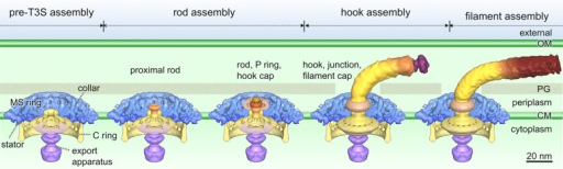 Sequentialflagellar assembly process revealed in B. burgdorferi.50 In the pre-T3S assembly state, mostflagellar motor components except for the flagellar rod have beenassembled, which includes the MS ring, the C ring, the stators, theexport apparatus, and the unique periplasmic structure collar. Thesecretion channel in the MS ring is closed (first panel). The exportationof rod substrates opens the channel, and proximal rod substrates [FliE,FlgB, FlgC, and FlhO (FlgF homologue)] cooperatively assemble intoa stable proximal rod structure (second panel). The distal rod proteinFlgG adds onto the proximal rod and polymerizes until it reaches adetermined length. With the completion of rod assembly, the hook capis exported and the P ring is assembled around the rod (third panel).The hook assembly is promoted by a hook cap.83 With the completion of hook assembly, the hook–filament junctionand filament cap are exported (fourth panel). The filament assemblyis promoted by the filament cap (fifth panel).82