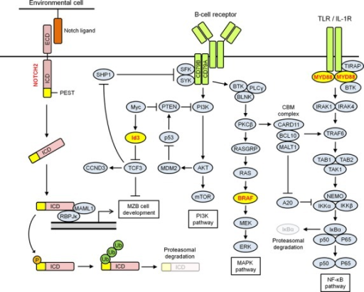 Disease-specific mutations in B-cell lymphoid neoplasms. V-raf murine sarcoma viral oncogene homolog B (BRAF) is a serine/threonine protein kinase that mediates the MAPK pathway. B-cell receptor signaling triggers activation of BRAF. Activated BRAF phosphorylates MEKs, which, in turn, leads to activation of ERKs. The V600E BRAF mutant in hairy cell leukemia possesses constitutive kinase activity, resulting in overactivation of downstream targets. Myeloid differentiation primary-response gene 88 (MYD88) is an adaptor protein that plays an essential role in signaling by the Toll-like receptors (TLRs) and interleukin-1 receptor (IL-1R). On cell stimulation, MYD88 is directly recruited to the Toll/IL-1R (TIR) domain in TLRs/IL-1R, binds to Bruton tyrosine kinase (BTK) and acts to recruit IL-1R-associated protein kinases. This leads to activation of the nuclear factor-κB (NF-κB) signaling. The L265P MYD88 mutant in Waldenström macroglobulinemia contributes to constitutive activation of the NF-κB signaling by preferential binding to BTK. Inhibitor of DNA binding (ID3) is a member of the Id helix–loop–helix proteins, which lack a DNA-binding region and function as dominant negative antagonists of basic helix–loop–helix transcription factors, including transcription factor 3 (TCF3). TCF3 plays a role in germinal center B-cell development and promotes cell growth by activating the B-cell receptor signaling pathway, phosphatidylinositol 3-kinase (PI3K) signaling pathway, and positive cell cycle regulator cyclin D3 (CCND3). Gain-of-function mutations in TCF3 and loss-of-function mutations in ID3, the negative regulator of TCF3, in Burkitt lymphoma enhance the TCF3 pathway. NOTCH2 is a single transmembrane receptor. Following NOTCH ligand binding, NOTCH receptor is cleaved in the transmembrane region, resulting in the release of the intracellular domain (ICD) from the plasma membrane. Then ICD is translocated to the nucleus, and activates the transcription of target genes. This signal is terminated by phosphorylation (P) of the proline, glutamate, serine, and threonine (PEST) domain of the ICD, followed by proteasomal degradation. NOTCH2 mutants in splenic marginal zone lymphoma lack the degradation signals in the PEST domain and act in a gain-of-function manner. AKT, v-akt murine thymoma viral oncogene homolog; BCL10, B-cell lymphoma 10; BLNK, B-cell linker; CARD11, caspase recruitment domain family, member 11; ECD, extracellular domain; IKK, IκB kinase; IRAK, I interleukin-1 receptor-associated kinase; MALT1, mucosa associated lymphoid tissue lymphoma translocation gene 1; MAML1, mastermind-like 1; MDM2, MDM2 oncogene, E3 ubiquitin protein ligase; mTOR, mammalian target of rapamycin; MZB, marginal zone B cell; PLCγ, phospholipase C, gamma; PTEN, phosphatase and tensin homolog; RAS, rat sarcoma viral oncogene homolog; RASGRP, RAS guanyl releasing protein; RBPJk, recombination signal binding protein for immunoglobulin kappa J region; SFK, Src family kinases; SHP1, Src homology region 2 domain-containing phosphatase-1; SYK, spleen tyrosine kinase; TAB, TAK1 binding protein; TAK, TGF beta-activated kinase; TIRAP, TIR adaptor protein; TRAF6, TNF receptor-associated factor 6; Ub, ubiquitin.