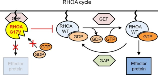 Disease-specific mutations in angioimmunoblastic T-cell lymphoma and its related cancers. Ras homolog gene family, member A (RHOA) acts as a molecular switch, cycling between a GDP-bound inactive state and a GTP-bound active state. RHOA is activated by specific guanine-exchange factors (GEFs) and inactivated by GTPase-activating proteins (GAPs). The G17V RHOA mutant in angioimmunoblastic T-cell lymphoma impairs binding capacity for GTP/GDP and inhibits activation of WT RHOA by sequestering the upstream activator GEFs.