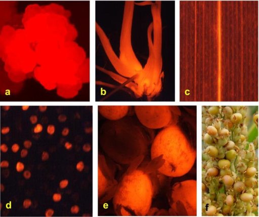 Transgenic callus, shoots, roots, leaf, pollen, and seeds expressing DsRed derived from PHP149 viewed using fluorescence microscopy. (a) Transgenic callus expressing DsRed, (b) transgenic shoots and roots expressing DsRed, (c) transgenic leaf expressing DsRed, (d) pollen grains from a T0 transgenic plant with or without expression of DsRed, (e) T1 seeds from a T0 transgenic plant with or without expression of DsRed, (f) a part of a T0 transgenic panicle showing red (transgenic) and non-red (non-transgenic) seeds.