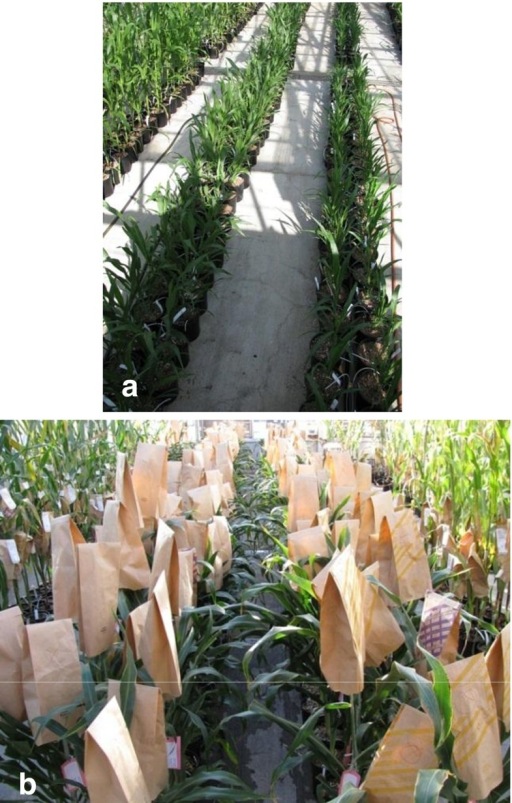Transgenic sorghum plants derived from PHP166 grown in the greenhouse. (a) Young T0 plants, (b) self-pollinated, mature T0 plants.