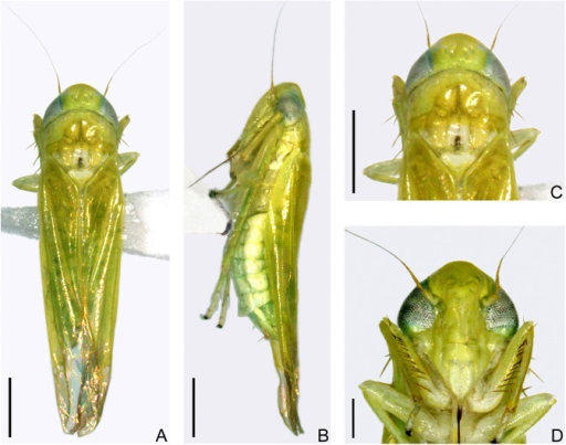 Adult of E. (M.) onukii Matsuda (alcohol preserved specimens from Kagoshima, Japan).(A) Male adult, dorsal view. (B) Female adult, left lateral view. (C) Head and thorax, dorsal view. (D) Face. Scale bars: (A)–(C) = 0.5 mm; (D) = 0.2 mm.