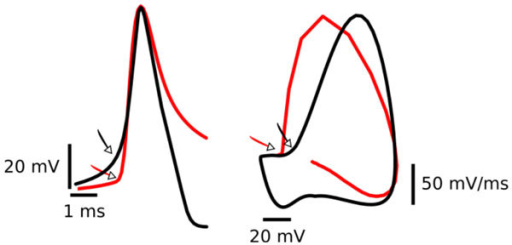 Kink in the action potential. Patch clamp recordings (red) from a cortical pyramidal cell and action potential produced by a Hodgkin Huxley type model (black). Left: Voltage-time relationship. Right: Phase plot of the same traces as in the left (dV/dt vs. V). Note, in both representations the onset of the action potential is much faster for the experimental recordings (red) than for the model (black).