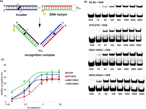 Recognition of dsDNAmodel target DH8 using differentInvader probes. (a) Illustration of recognition process; (b) representativeelectrophoretograms for recognition of DH8 using 1- to500-fold excess of X5:X6, DY5:DY6 DSX1:DSX2, or DSX3:DSX4; (c) dose–response curves (average of at leastthree independent experiments, error bars represent standard deviation).The sequence of DNA hairpin DH8 is shown in Figure 4. For experimentalconditions, see Figure 2.