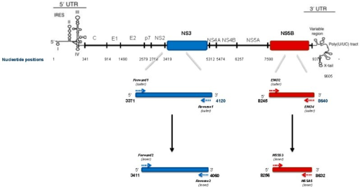 PCR primers positions and amplicons lenght for NS3 and NS5B HCV genomic regions, according to the HCV1b reference sequence (Con1 AJ238799).