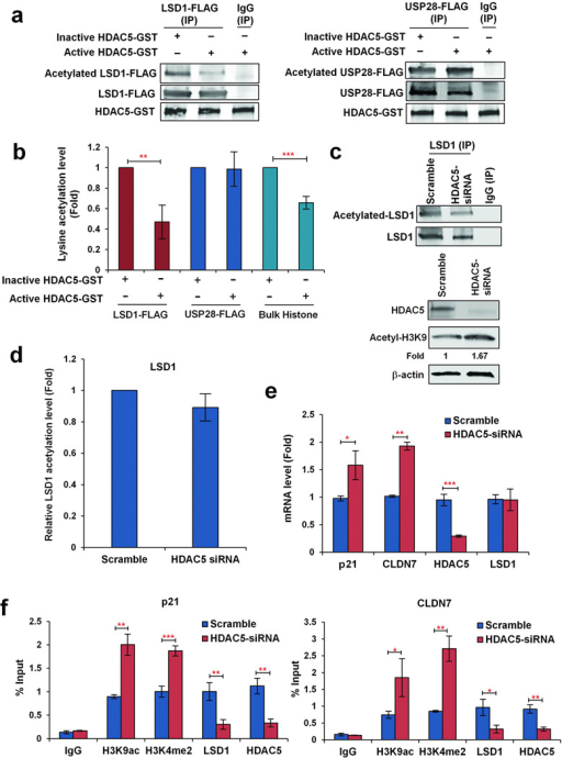 "Effect of HDAC5 on protein acetylation of LSD1/USP28 and transcription of LSD1 target genes. (a) The immunoprecipitates of FLAG-M2 agarose from MDA-MB-231 cells overexpressing FLAG-tagged USP28 or FLAG-tagged LSD1 were used as substrates for protein deacetylation assay. IgG was used as negative control. Active or heat inactivated recombinant human GST-tagged HDAC5 protein were mixed with immunoprecipitates and incubated at 37°C for 6 h as described in ""Materials and Methods"". The reactions were then subjected to immunoblots with anti-acetyl lysine antibody. FLAG-tagged USP28 or LSD1 proteins were probed with anti-FLAG antibody. HDAC5-GST protein was probed with anti-HDAC5 antibody. (b) Histograms represent the means of levels of acetyl-LSD1, acetyl-USP28 and acetyl-histone determined by quantitative immunoblotting using infrared immunoblotting detection and analysis. (c) MDA-MB-231 cell transfected with scramble or HDAC5 siRNAs for 48 h. LSD1 or IgG antibodies were added to cell lysate. Immunoprecipitation (IP) was performed with anti-LSD1 antibody followed by immunoblotting with anti-acetyl lysine and anti-LSD1 antibodies, respectively. Effect of HDAC5 siRNA on Acetyl-H3K9 protein expression in MDA-MB-231 cells was examined by immunoblotting with anti-acetyl-H3K9 antibody. (d) Histograms represent the means of relative levels of acetyl-LSD1 determined by quantitative immunoblotting using infrared immunoblotting detection and analysis. (e) mRNA expression of indicated genes in MDA-MB-231 cells transfected with scramble siRNA or HDAC5 siRNA. Data are means ± s.d. of three independent experiments. (f) Quantitative ChIP analysis was used to determine the occupancy by acetyl-H3K9, H3K4me2, LSD1, and HDAC5 at promoters of p21 or CLDN7 in MDA-MB-231 cells transfected with scramble or HDAC5 siRNA. *p<0.05, **p<0.01, *** p<0.001, Student's t-test."