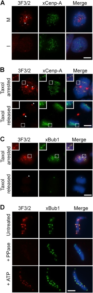 The 3F3/2 epitope in X. laevis is a phosphospecific kinetochore antigen. (A) Asynchronous XTC cells in mitosis (M) and in interphase (I) were stained with the 3F3/2 antibody and with an anti–xCenp-A antibody. The majority of the xCenp-A dots in M cells contained the 3F3/2 signals, although a few lacked the 3F3/2 staining, likely because of the dephosphorylation that occurred during sample processing. (B and C) XTC cells arrested with taxol or released from taxol arrest were stained for the 3F3/2 antigen and for xCenp-A or xBub1. Insets show a magnified image of the boxed areas. (D) Nuclei purified from checkpoint extracts (top) were dephosphorylated with λ-phosphatase (middle) and then rephosphorylated with ATP (bottom). (A–D) Red, 3F3/2; green, xCenp-A or xBub1. Arrowheads and arrow point to the 3F3/2 signals on centrosomes and at the midbody, respectively. Bars, 5 μm.