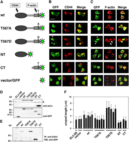 Intracellular localization of ezrin mutants and the enhancement of uropod size in T567D ezrin transfectants. (A) GFP-tagged ezrin constructs used in this study. In point mutant constructs T567A or T567D, a CT phosphorylation site, Thr567 (T) was replaced by Ala (A) or Asp (D), respectively. (B and C) Intracellular localization of ezrin mutants in EL4.G8 cells. Stable transfectants were examined for the localization of GFP as well as CD44 (B) or F-actin (C). Each set of panels corresponds to the construct shown to the left in A. T567D ezrin was exclusively localized at the uropod (asterisks) and colocalized with the enhanced F-actin signal (C, arrows). Bar, 10 μm. (D) GFP-tagged proteins expressed in stable transfectants were detected by Western blotting using antiezrin or anti-GFP antibody. Polyclonal antiezrin antibody recognizes an epitope in the CT domain and, thus, does not detect the NT fragment. The arrowhead indicates endogenous ezrin. (E) Interaction between CD44 and ezrin mutants was detected by the immunoprecipitation of CD44 and Western blotting for GFP. (F) T567D ezrin increases uropod length. The length of the uropod was measured and expressed as mean ± SD (n > 200). Each bar represents an individual stable clone of a different type of ezrin transfectant.