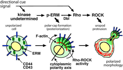 "Model of lymphocyte polarization and uropod formation. During the construction of the motile polarized morphology in lymphocytes in response to chemoattraction or adhesion signals (directional cues), two codependent steps are proposed: ""posteriorization"" of the plasma membrane mediated by ERM phosphorylation, and ""uropod protrusion"" mediated by Rho–ROCK activation."