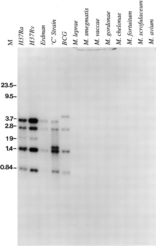Southern blot analysis of Mtb9.9 genes. Genomic DNA from various mycobacterial strains was digested with PstI, separated by agarose gel electrophoresis, and blotted on Nytran®. The mtb9.9a gene was labeled with 32P and used as a probe. Size markers (M) are in kb.