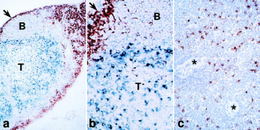 Staining for the 2A1 antigen which is abundant in DCs in lymph node T areas. (a and b) Low and high power views for macrophages (sialoadhesin+) in the subcapsular sinus (arrows) and medulla (brown) and the 2A1 antigen in the deep cortex (T area) and to a less extent B cell follicles (blue).  (c) The deep cortex with several venules (*) is stained for the 2A1 antigen (brown) and counterstained with hematoxylin.