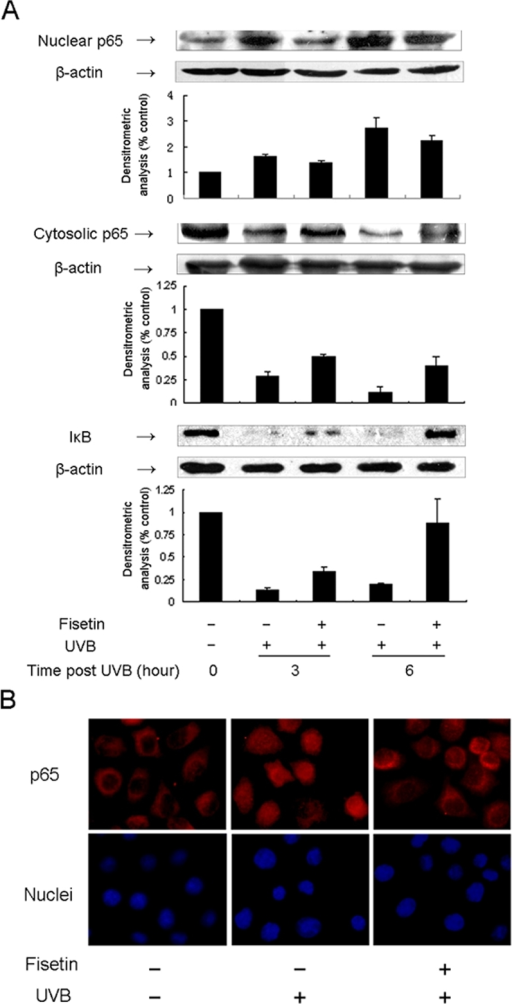 Effect of fisetin on UVB-induced activation of NF-кB and degradation of IкB in HLE cells. A: SRA01/04 cells were exposed to UVB (30 mJ/cm2) with or without pretreatment with fisetin (25 μg/ml) for 1 h. Cells were harvested at 3 h and 6 h time points after UVB exposure, and cell lysates were prepared to determine the activation of NF-кB or degradation of IкB using western blot analysis. The graph represents the quantification results normalized to β-actin levels. Data represent the mean±SD of three individual experiments. The asterisk indicates p<0.05. B: Immunocytochemical analysis of NF-кB p65 localization is visualized. Cultured cells were incubated with anti-p65 antibody overnight at 4 °C as described in Methods. p65 is stained red, and the nuclei are stained blue. Representative fluorescent images were taken under fluorescence microscopy. Magnification, 100X.